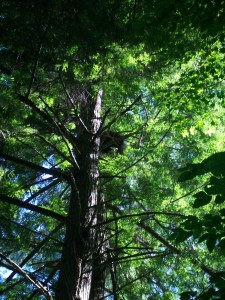 Squirrel nest - above our tent!