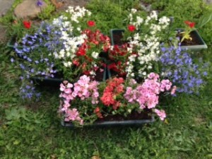 pink and mauve diascia in front planter; white diascia with red nemesia, blue salvia; white diascia with blue lobelia and red dianthus